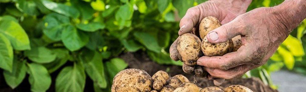 potatoes-baner-seeds